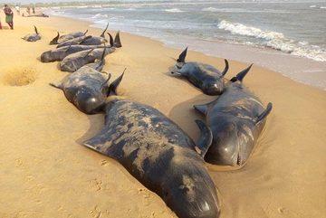 Cả trăm cá voi cố tự sát bí ẩn ở Ấn Độ