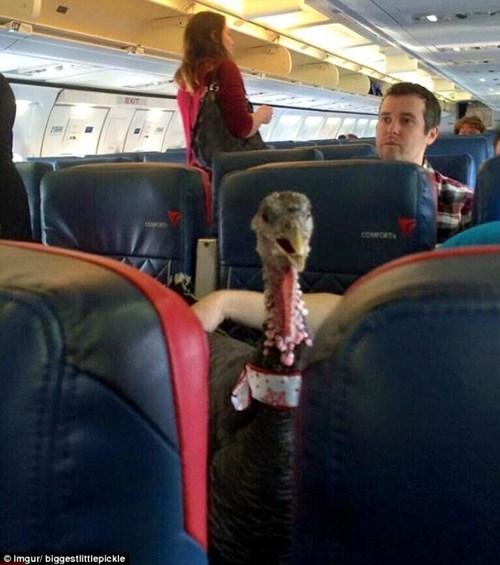 Hành khách chơi ngông mua vé cho gà đi máy bay