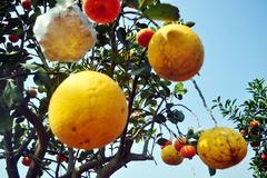 """Vườn cây 10 quả chơi Tết """"siêu lạ"""" của lão nông Hà thành"""