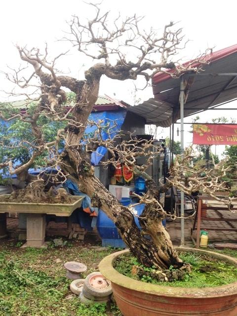 Cây cảnh triệu đô, nghệ thuật chơi cây, Phúc Thọ, làng nghề