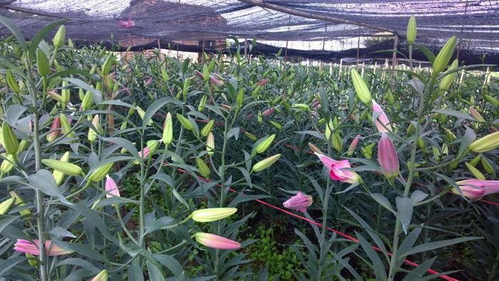 Mùa đông không lạnh: Tiền tỷ rụng theo cánh hoa ly