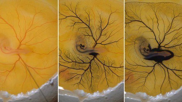 Xem tim gà đập rộn ràng bên trong quả trứng