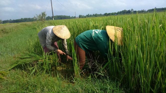Dân Việt ăn cá urê, rau dầu nhớt, uống chè phân lân