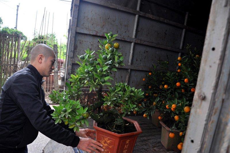 Ngắm quất ghép cần thăng cổ thụ độc đáo giá hơn 20 triệu ở Hà Nội