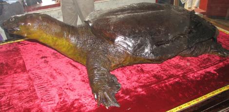 Chuyện chưa kể về những 'cụ rùa' Hồ Gươm khổng lồ bị xẻ thịt