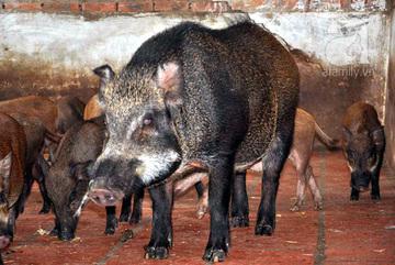 Nhân viên biếu sếp cả con lợn rừng nguyên lông