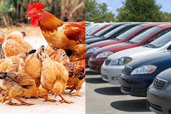 Thưởng Tết được 150 triệu: Mua ôtô hay đầu tư nuôi gà?