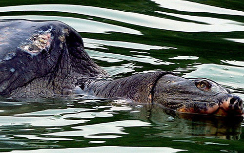 Xác 'cụ rùa Hồ Gươm' sẽ được xử lý làm tiêu bản trưng bày