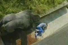 Cảm động chuyện khỉ đột bảo vệ trẻ gặp nạn giữa bầy thú dữ