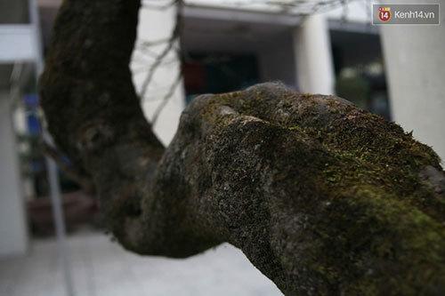 đào đá, đào đá sapa, 100 năm tuổi, giá 700 triệu, Hà Nội, đào-đá, đào-đá-sapa, 100-năm-tuổi, giá-700-triệu, Hà-Nội