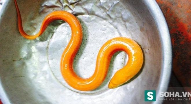 Bắt được lươn lạ màu vàng óng ở Vĩnh Long