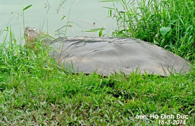 Hồi hộp những lần chữa bệnh cụ rùa Hồ Gươm