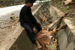 Lần đầu tiên trâu bò chết la liệt không phải vì đói