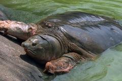 """Bất ngờ: """"Cụ rùa Hồ Gươm"""" là giống đực?"""