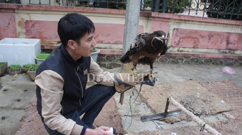 Đại gia phố núi nuôi đại bàng đốm làm thú cưng