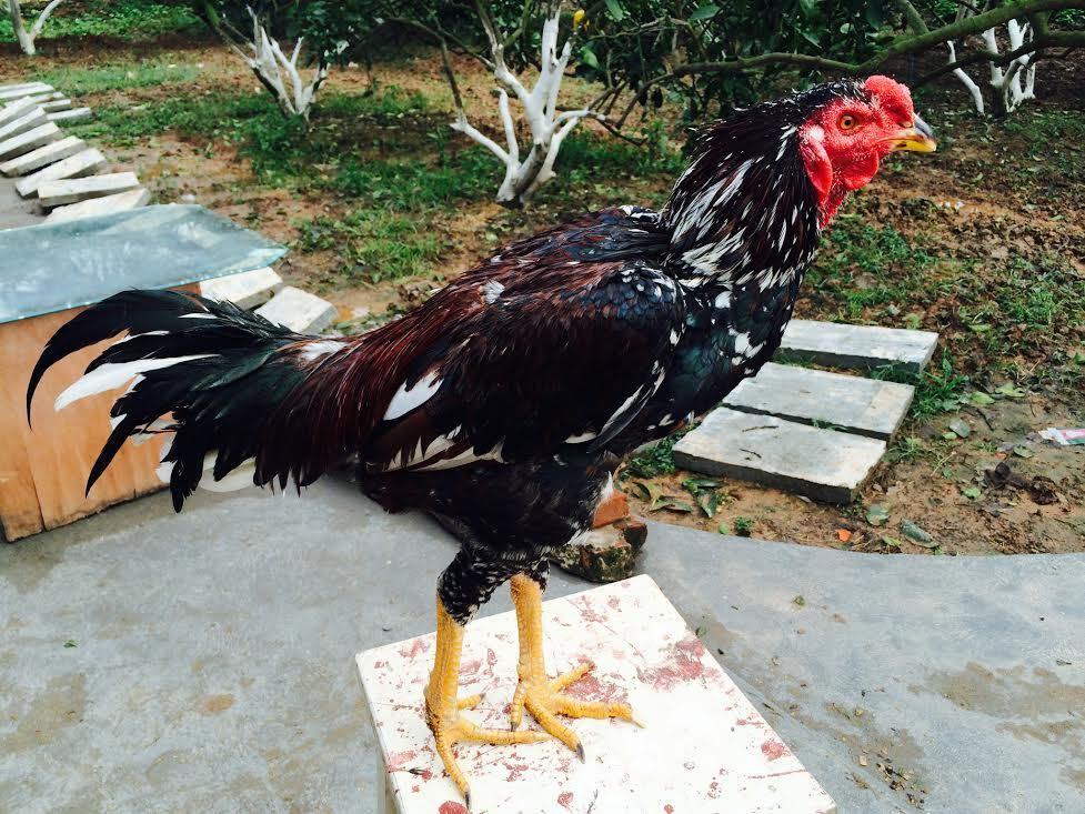 Bộ 5 con gà tiến vua nhà giàu lùng ăn Tết