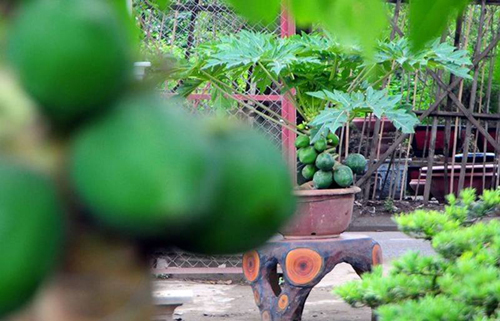 đu đủ bonsai, cây cảnh tết, cây trưng trong nhà dịp tết