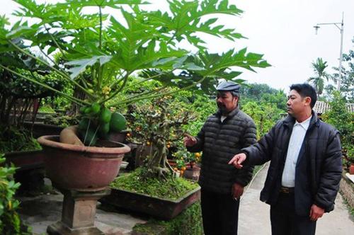 Đu đủ bonsai 'đếm quả ra tiền' hút khách dịp Tết