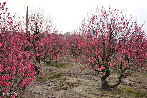hoa đào, miền Nam, giao thừa, Hà Nội, thành phố Hồ Chí Minh