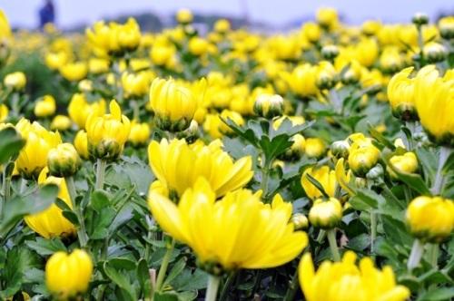 hoa tết, mùa xuân, cách đồng hoa, sài gòn, cái mơn, Tiền Giang