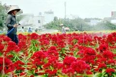 Đẹp nao lòng cánh đồng hoa trăm mẫu ở Sài Gòn