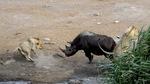 Tê giác bụng bầu đơn thân đánh bạt 3 sư tử đói