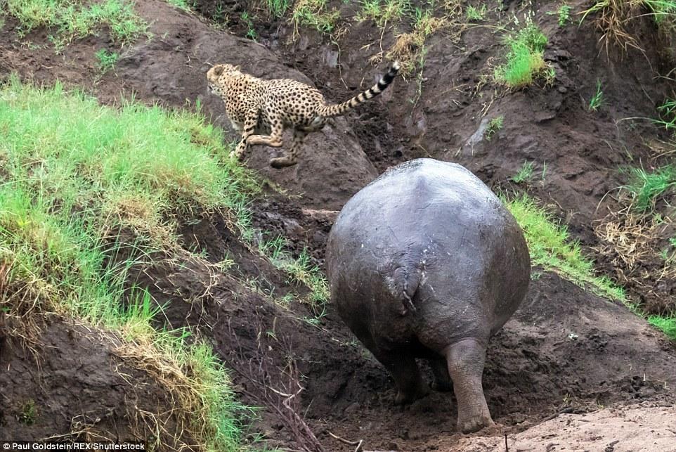 Báo Cheetah hoảng hồn vì hà mã phản công