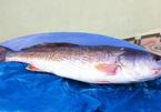 Bắt được cá sủ vàng nặng 7 kg