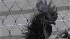 Hà Nội: Kỳ lạ giống gà 50 triệu/con