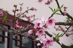 Mẹo chọn mua, trang trí và chăm sóc hoa đào siêu đẹp để đón Tết