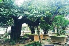 Đại gia Hà thành chi 800 triệu mua cây khế 100 tuổi