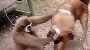 Chó nổi cáu vì bị khỉ trêu chọc