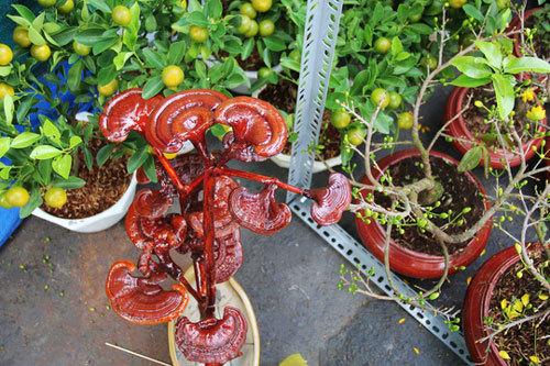 Kiểng bonsai linh chi hút khách vì 'độc', lạ