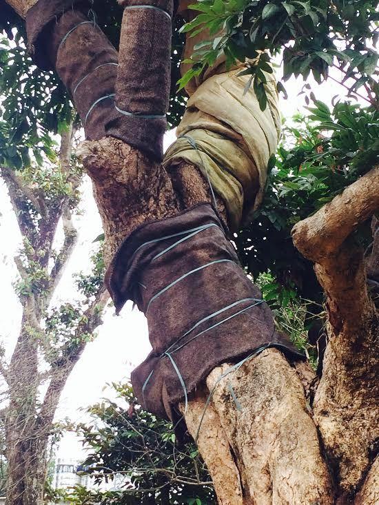 Với nghề này, kỹ thuật chăm sóc cây đúng sẽ giúp cây sống sót