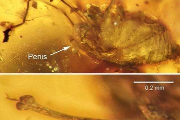 Phát hiện sinh vật bị 'cương cứng' suốt 99 triệu năm