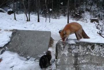"""Cáo dùng """"luật rừng"""" xử mèo nhà"""