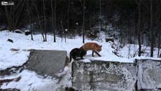 Xem cáo hoang 'dạy' mèo nhà luật rừng
