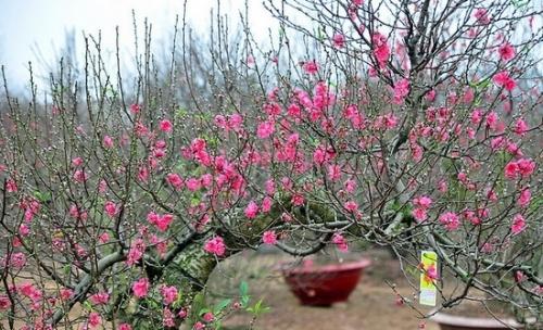hoa đào, tác dụng của hoa đào, nam y, y học cổ truyền, mỹ phẩm thiên nhiên, Phùng Tuấn Giang