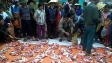 """Cảnh """"đụng"""" lợn tưng bừng ở các làng quê sáng 27 Tết"""