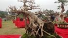 'Siêu cây cảnh' mỗi năm tăng giá ngàn đô