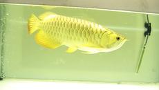 Cá rồng vàng 24K có khai sinh, đại gia sục sạo