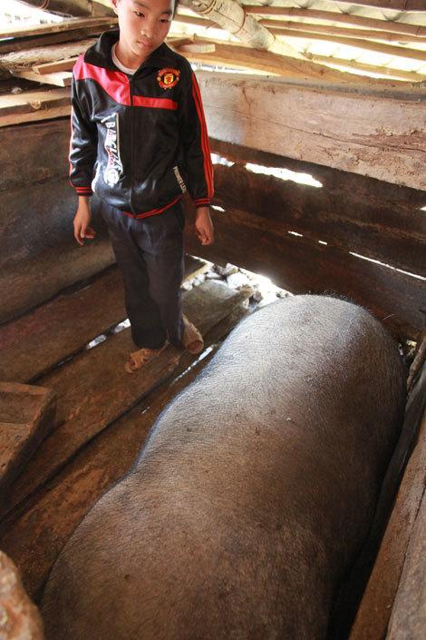 Kỳ lạ lợn khổng lồ đeo gông của người Mông