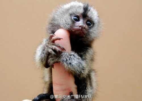 khỉ lùn đuôi sóc, Trung Quốc, thú cưng, chó Ngao Tây Tạng