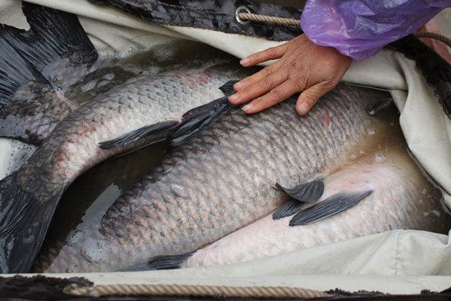 gái văn phòng, bán cá, nửa tấn cá, kiếm 6 triệu/ngày, bằng cả tháng lương, bán cá online, tết, buôn cá