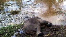 Phát hiện voi rừng nặng 2 tạ chết bên ao nước