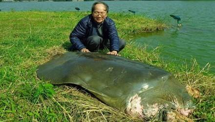 rùa Hồ Gươm,rùa hồ gươm chết, xác rùa Hồ Gươm
