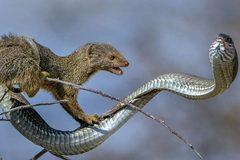 Cầy mangut táo tợn xẻ thịt rắn cực độc trên cây