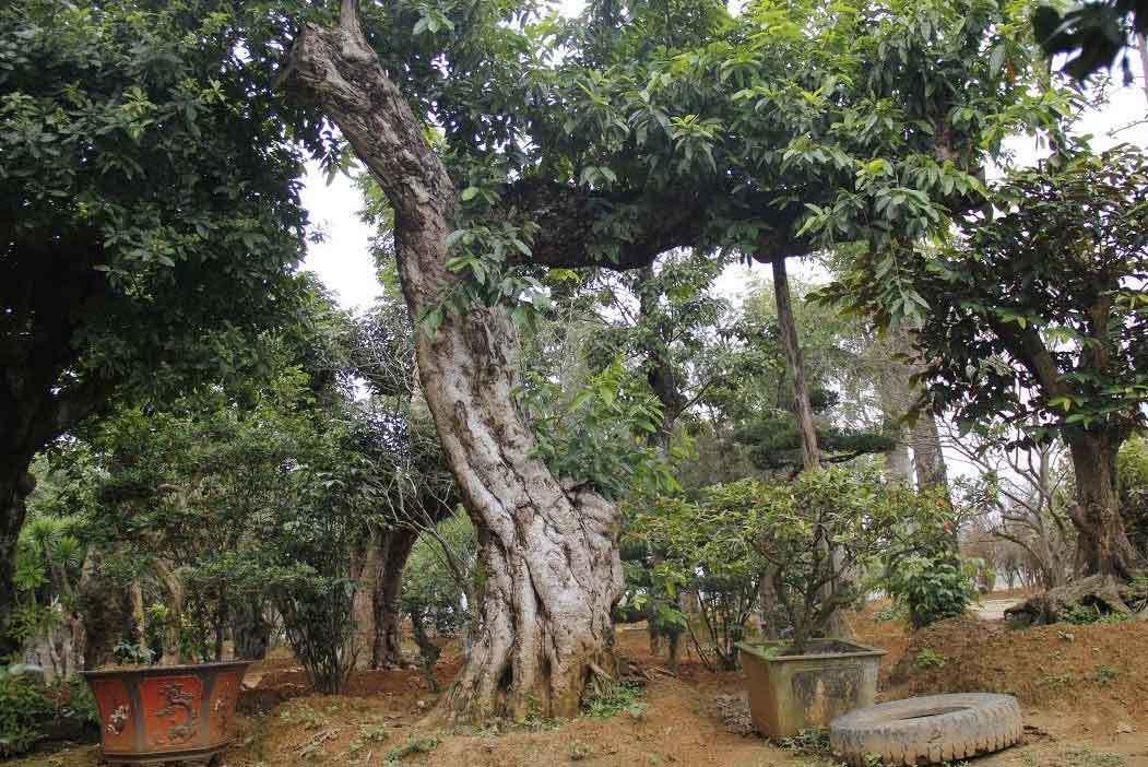 Vườn cây bóng mát 40 tỷ của đại gia Hà Thành