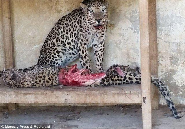 Hình ảnh gây sốc: 300 con thú bị bỏ đói ăn thịt lẫn nhau