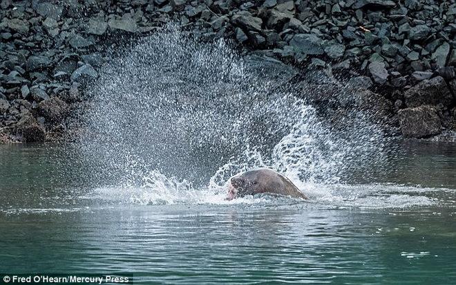 Xem sư tử biển xẻ thịt cá mập trên không